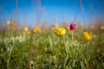 flowering field tulips. glade with flowers. spring day