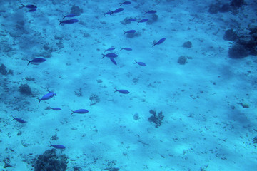 Underwater life of the Red Sea,, -   fishes and carals, Egypt