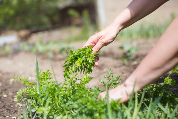 Hand of senior woman cutting fresh parsley at her garden
