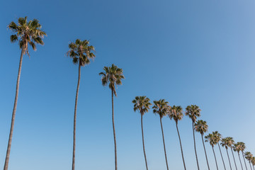 A row of Washingtonia robusta palm trees in Southern California.