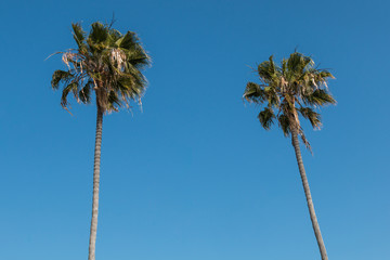 The top of two Washingtonia robusta palm trees in Southern California.