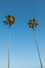 Two Washingtonia robusta palm trees in Southern California.