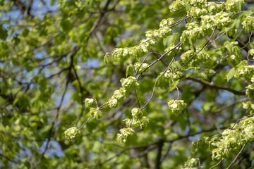Ulmenlaub im Frühling