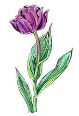 Purple tulip, hand drawing with outline on white background, isolated.