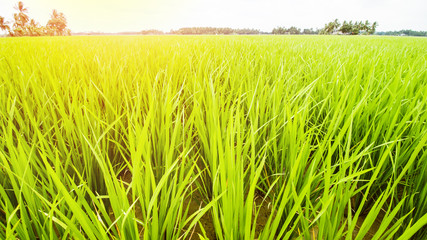 Rice Field Landscape, Paddy Field Landscape