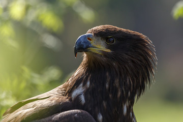 Blick eines Seeadlers