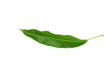 Fresh mango leaves isolated on white background.