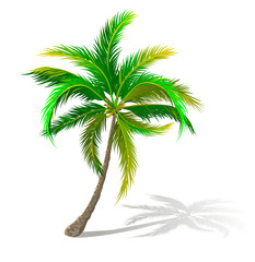 Palm tree with sprawling branches. A palm tree on a white background
