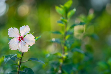 White hibiscus flower on nature or Chaba flower