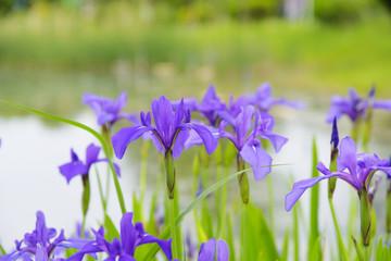 Irises blooming in flower gardens