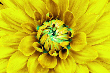 Dahlia yellow cyan flower closeup. Can be used in the design of the site and in printing. Also good for designers.