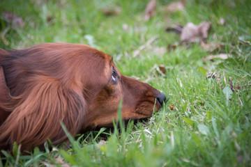 beautiful dog a dachshund, the head lies in a grass close up