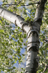Green lush birch leaves on the trunk.