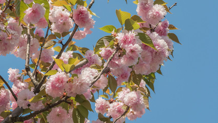 Colorful pink peach blossoms on sunny day