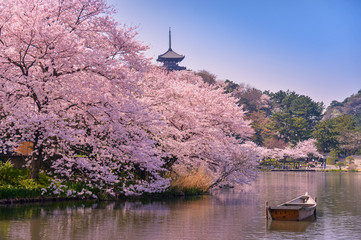 japan. Cherry blossom Sakura. Wall mural