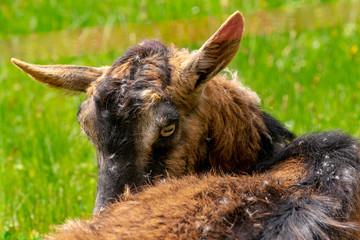 Eine Ziege leckt sich den Bauch