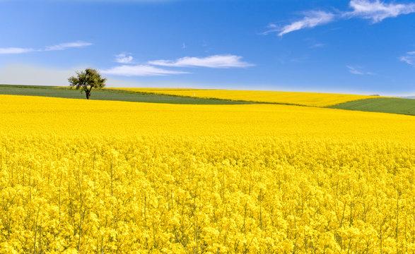 Farben des Frühlings: gelb und blau, Rapsfeld unter blauem Himmel :)