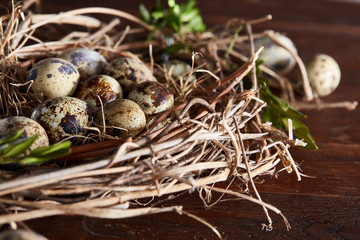 Willow nest with quail eggs on the dark wooden background, top view, close-up, selective focus