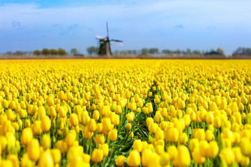 Tulip fields and windmill in Holland, Netherlands.