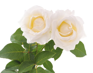 Two white roses.