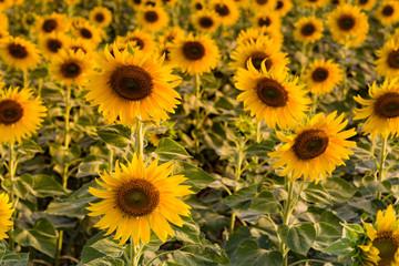 Full bloom sunflower field close up, natural landscape background