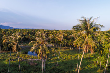 Coconut palm tree plantation field with road aerial view