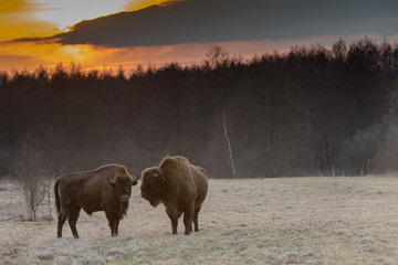 Frei lebende Wisente im Nationalpark Bialowieza, Polen