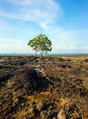 Mangrove tree at Panka Noi beach, Satun Thailand