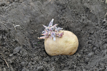 close-up of prepared germinating potato tuber in the planting process, black earth