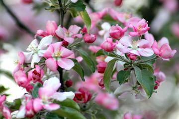 apple-tree gipsy