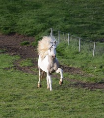 Icelandic stallion at a tölt, with a flying mane. Pinto.