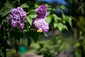 Flieder mit Schmetterling