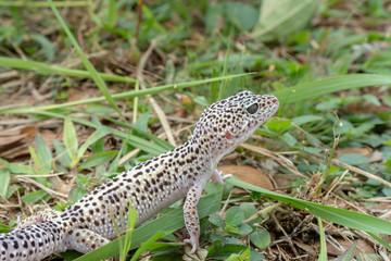 Adorable leopard gecko morph mack snow (Eublepharis macularius) on ground, grass, nature background. Selective focus.