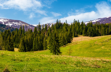 Spruce forest on  the grassy hills. beautiful nature scenery of Carpathian countryside. lovely landscape with snowy mountain tops in the distance