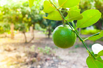 Fresh green limes raw lemon hanging on tree in garden, limes cultivation