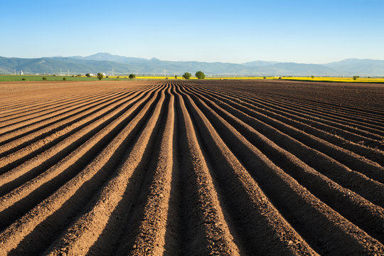 Potato field in the early spring after sowing - with furrows running towards the horizon