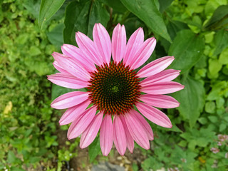 Close up image of one isolated echinacea flower in garden. Echinacea purpurea, coneflower.