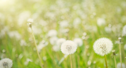 Nature Spring Background with white fluffy dandelion flowers.