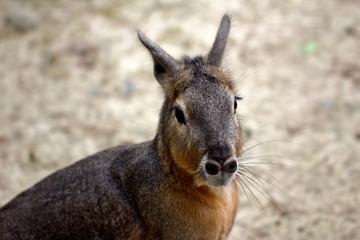 Patagonian Cavy Mara (dolichotis mammal)