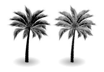 A tropical palm tree in black and white. Stylized for pencil. Isolated on white background. illustration