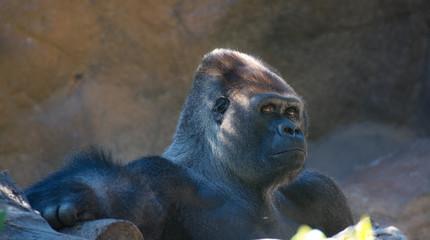 gorilla posing with human gaze