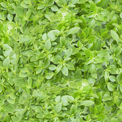 Seamless pattern with a photo of fresh basil leaves.