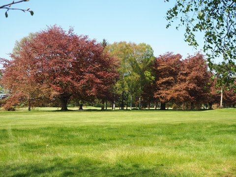 Colourful copper beech and silver birch trees in a park