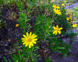 Yellow daisy bush up close growing naturally in the ground. Located in Southern California