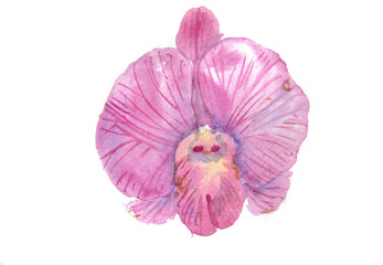 Pink orchid on white background, watercolor illustrator, hand painted