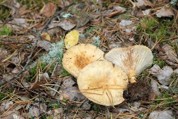 Lactarius musteus in natural environment