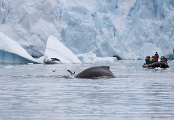 A humpback whale (Megaptera novaeangliae) diving in front of a zodiac or inflatable boat filled with tourists, Antarctica