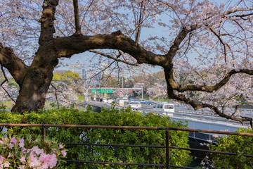 東京千鳥ヶ淵の桜