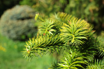 Spring branch of a pine