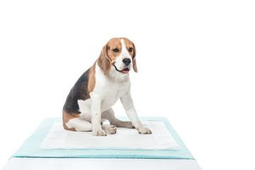 adorable beagle with bandage on paw isolated on white background